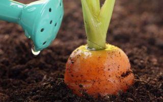 Чем подкормить морковь после прореживания: почему важно полить и удобрить растение после прополки, а также как это сделать правильно