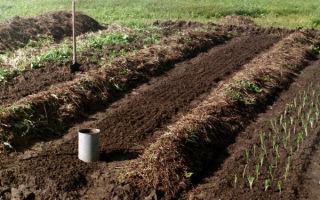 Подготовка грядок под чеснок: какую почву он любит, как и чем обработать землю перед посевом, а также самостоятельное определение параметров грунта