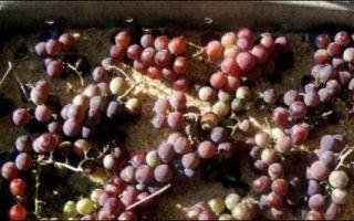 Как сохранить виноград на зиму в домашних условиях: советы и секреты
