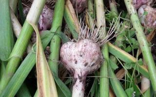 Когда убирать зимний чеснок на урале и посаженный весной: от чего зависят сроки, когда выкапывают овощ на хранение с грядок, а также как это сделать