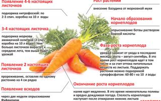 Чем подкормить морковь после всходов в период роста в открытом грунте: когда и как удобрять корнеплоды, если они плохо растут, какие вещества использовать в начале для первого внесения