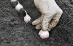 Когда сажают чеснок под зиму: каковы сроки, когда нужно осуществлять посев осенью овоща в средней полосе россии и в других регионах