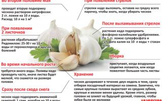 Подкормка чеснока для роста головки: чтобы удобрить овощ, чтобы он стал крупным, какие использовать народные и магазинные средства, а также другие меры по увеличению размера будущего урожая