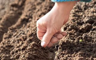 Посадка летом моркови: как осуществить посев для зимнего хранения, почему такое время считается поздним, а также какие правила нужно соблюдать при уходе за овощем
