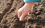 Сорта для сибири ранней моркови и другие аспекты выращивания: как выбрать лучшие скороспелые виды из семян, как осуществить посадку весной в открытом грунте, а также нюансы ухода за овощем