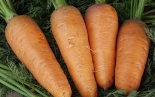 Морковь шантанэ курода, роял и другие виды относящиеся к сортотипу: описание как самого сорта, так и технологии его выращивания