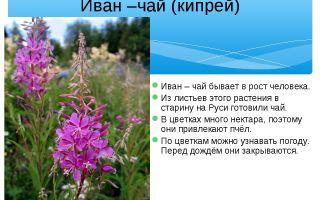 Как выглядит иван-чай, где растет и почему так называется – описание растения
