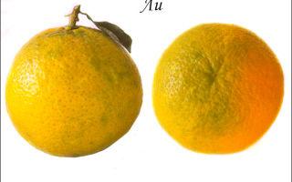 Клементины и мандарины: в чем разница между этими цитрусовыми и откуда их привозят