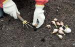 Посадка яровогочеснокаи уход в открытом грунте: когда и как сеять летний овощ зубчиками весной, а также возможные проблемы и трудности