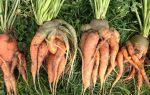 Можно ли пересаживать морковь при прореживании: разрешено ли рассаживать, плюсы и минусы решения, а также инструкция как осуществить