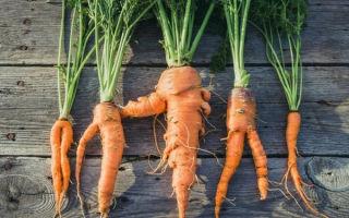 Почему у моркови отваливается ботва и падает на грядку, причины, почему корнеплоды корявые и рогатые, а также белые, а не оранжевые – обзор этих и других проблем