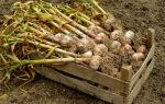 Когда убирают чеснок посаженный под зиму осенью с грядок на хранение: надо ли вытаскивать, как выкапывать или выдергивать с огорода