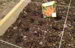 Можно ли сажать морковь рассадой: как выглядит на фото растение, посеянное таким способом, а также пошаговая инструкция как выращивать овощ