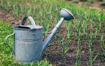 Когда прекращать полив чеснока перед уборкой: зачем нужно заканчивать процедуры, когда последний раз орошать овощ, а также как сделать это постепенно