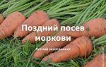 Последний срок посадки моркови: до какого числа летом можно сеять овощ, какова крайняя или самая поздняя возможность, а также последствия несоблюдения