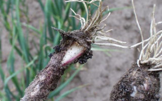 Почему гниет чеснок на грядке: что делать и как с этим бороться, что за болезнь фузариоз и ее фото, а такжепочему овощ стал белым на корню в земле
