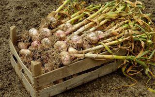 Можно ли мыть чеснок после уборки с грядки: надо ли это делать с яровым и зимним овощем после выкапывания из земли передпоследующимхранением, а такжекак потом сушить