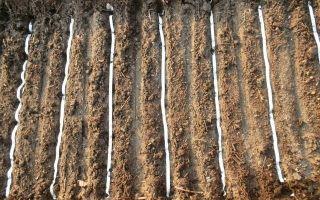 Морковь на ленте: как сажать семена в открытом грунте своими руками, как правильно и как неправильно делать, а также причины, почему не всходит овощ