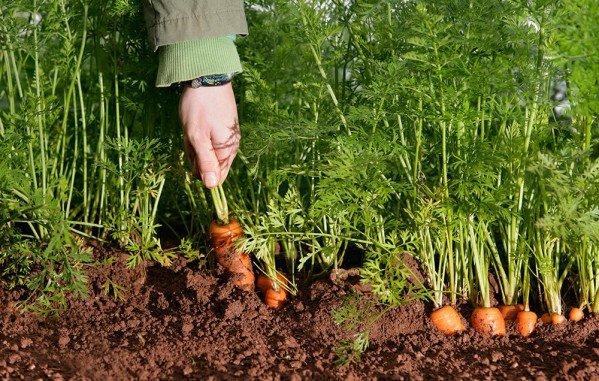 Посадка моркови весной в открытый грунт семенами: как и когда сажать, уход