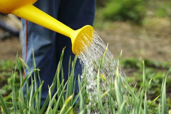 Правила полива чеснока в открытом грунте