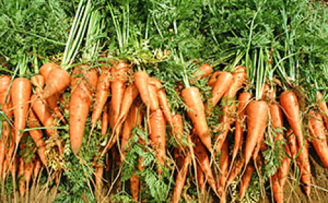 После чего нельзя сажать морковь