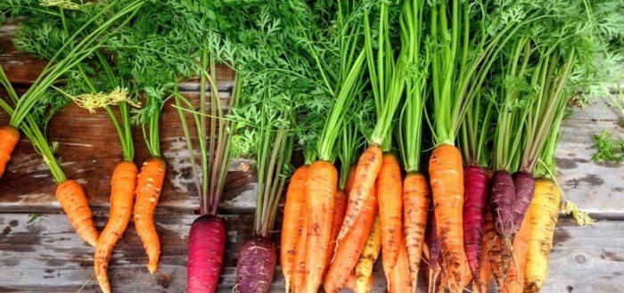 Сорта моркови для средней полосы россии
